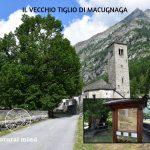 ALBERI MONUMENTALI DEL Verbano Cusio Ossola: IL TIGLIO DI MACUGNAGA